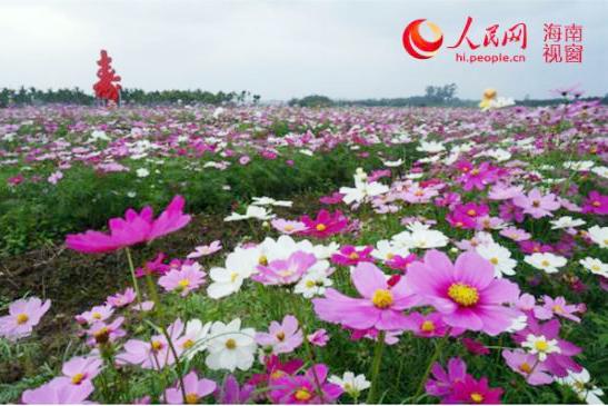 花团锦簇迎新春 春节来琼海龙寿洋看花海