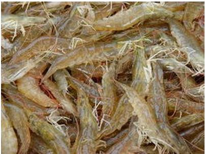 琼海淡水养虾去年超6成赚钱