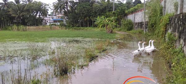 琼海嘉积一排水管道被堵近一个月 20多亩菜地被积水淹没