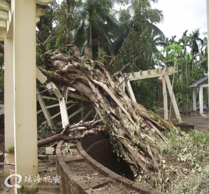 """""""莎莉嘉""""袭击 琼海灾情自救图展,300年古榕树被连根拔起"""