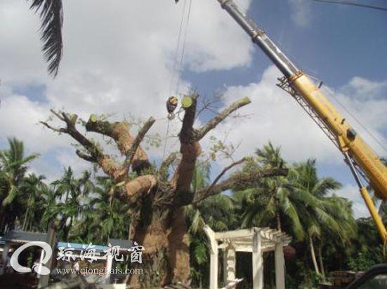 下朗村300年古榕树被台风刮倒 省市林业部门投入专业抢救保护