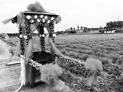 琼海嘉积镇打造花海让贫困户参与增收 花海春节盛开迎宾