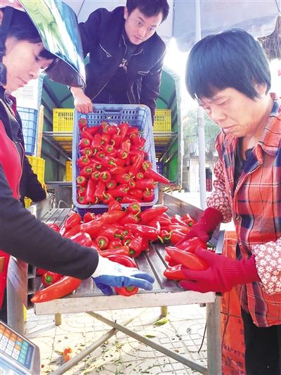 琼海潭门辣椒畅销岛外红辣椒成抢手货一斤卖4.7元